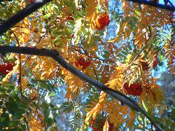 autumn ash tree: gold leaves and red berries