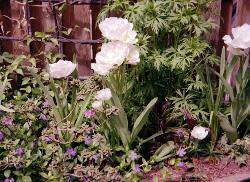 Angelique tulips in my garden