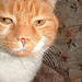 Spike; an orange tabby cat