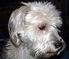 Henry - white terrier