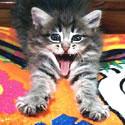 kitten showing its teeth