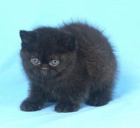 tiny, fierce-looking fuzzy kitten