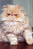 shaggy persian cat, looking mean