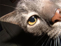 closeup grey tabby cat