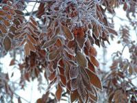 Mountain ash tree in ice fog