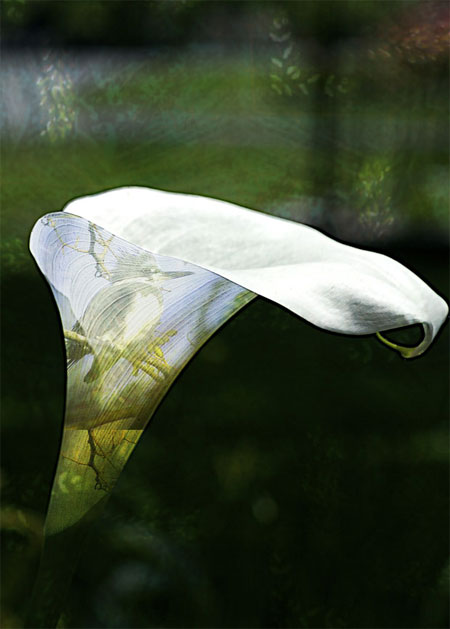 kingfisher & calla lily