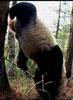 Panda bear handstand-BBC News