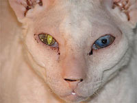 scary looking white cat with one yellow and one blue eye