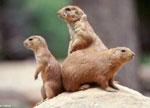 Prairie dogs-RedNovaNews