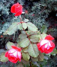 Rosesintherain