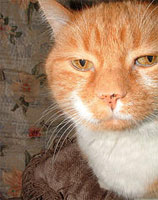 snooty orange tabby cat