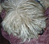 white very shaggy dog